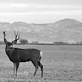 Wyoming Mule Deer by Chance Kafka