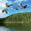 Xxxl Migrating Canada Geese by Sharply done