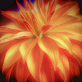 Yellow And Red Dahlia by Julie Palencia