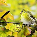 Yellow Bird by Top Wallpapers