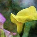 Yellow Calla 2616 Idp_2 by Steven Ward