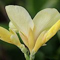Yellow Canna Lily by Karen Adams