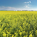Yellow Canola Field And Blue Sky Spring Landscape by Matthias Hauser