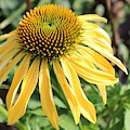 Yellow Cone Flower by Leslie Gatson-Mudd