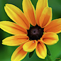 Yellow Flower Black Eyed Susan by Christina Rollo