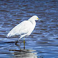 Snowy Egret - Malibu Lagoon State Beach - Square by Gene Parks