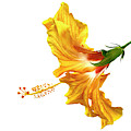 Yellow Hibiscus by Christopher Johnson