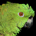 Yellow-naped Amazon by Debbie Stahre
