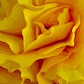 Yellow Petals by Susan Rydberg