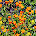 Yellow Poppies Of California by Mae Wertz