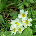 Yellow Primroses by Mark Hunter