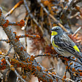 Yellow Rumped Warbler by Michael Chatt