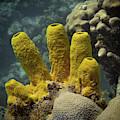 Yellow Sponge Colony by Jean Noren