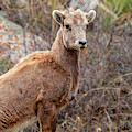 Young Bighorn Sheep In The Mountains by Steve Krull