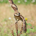 Young Burrowing Owl On Mullein by Judi Dressler