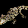 Young Cayman Crocodile, Reptile With Opened Mouth And Waved Tail Isolated On Black Background In Top by Sergey Taran