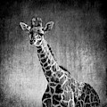 Young Giraffe Black And White by Judy Vincent