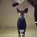Young Okapi Born At San Diego Zoo by Nina Leen