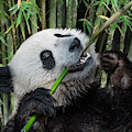 Young Panda Bear Eating Bamboo by Arterra Picture Library