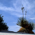 Yucca Plant In Rippled Sand Dunes In White Sands National Monument - Newm500 00107 by Kevin Russell