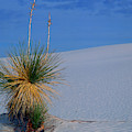 Yucca Plant In Sand Dunes In White Sands National Monument, New Mexico - Newm500 00112 by Kevin Russell