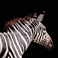Zebra Equus Sp., Side View by Ryan Mcvay