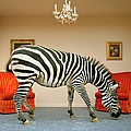 Zebra In Living Room Smelling Rug, Side by Matthias Clamer