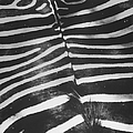 Zebra Stripes.  Photo By Loomis Deant by Loomis Dean