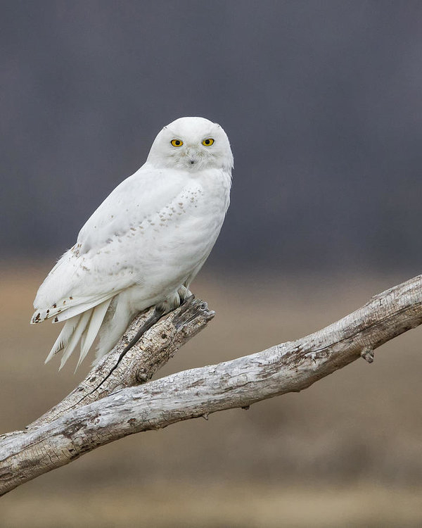 Christopher Ciccone - Snowy Owl on Driftwood 2 Print