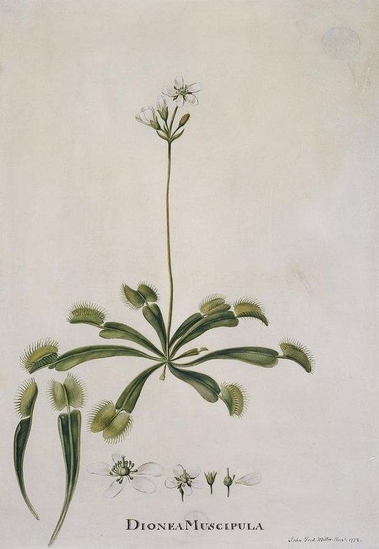 Science Photo Library - Venus flytrap, 18th centu... Print