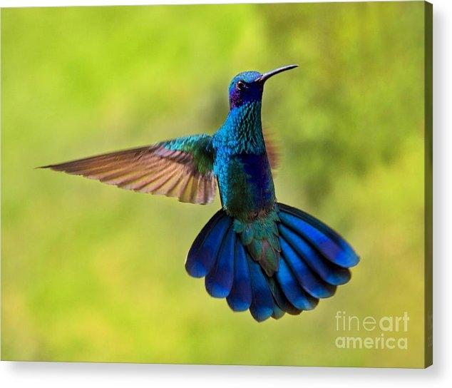 Al Bourassa - Hummingbird Splendour Print
