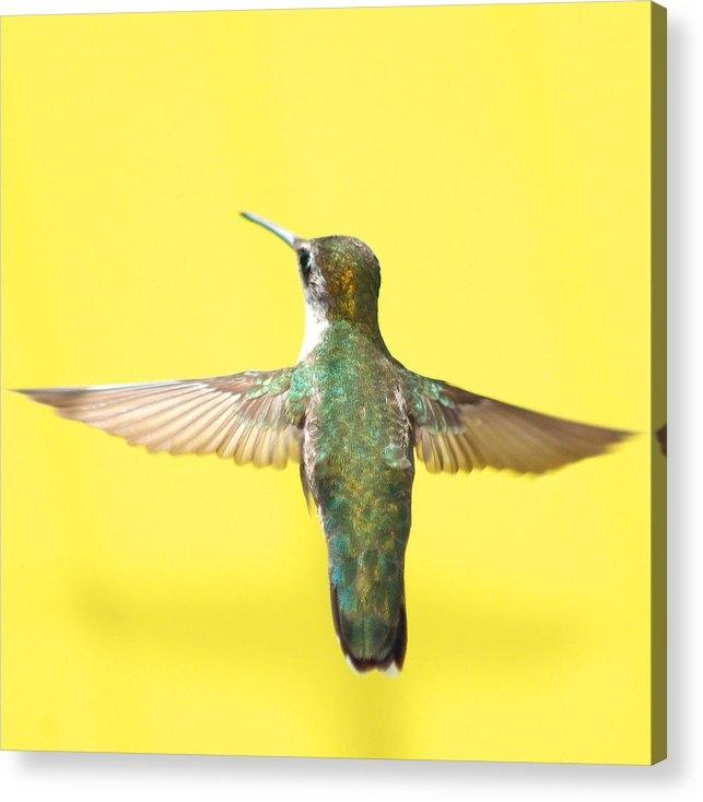 Robert  Suits Jr - Hummingbird on Yellow 4 Print