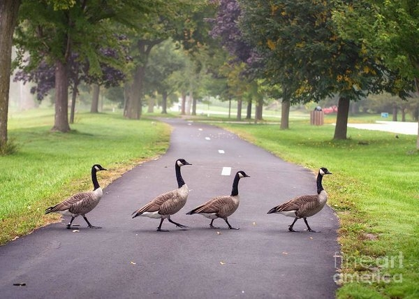 Kari Yearous - Canada Geese Four In A Ro... Print
