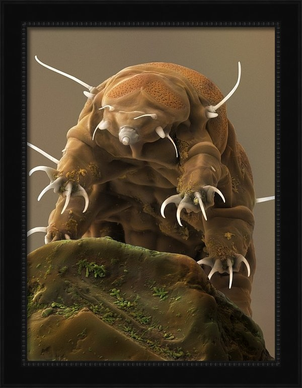 Science Photo Library - Water Bear or Tardigrade Print