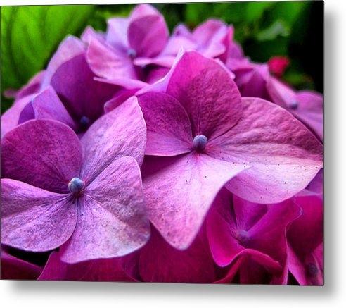 Spencer Hughes - Hydrangea Bliss Print