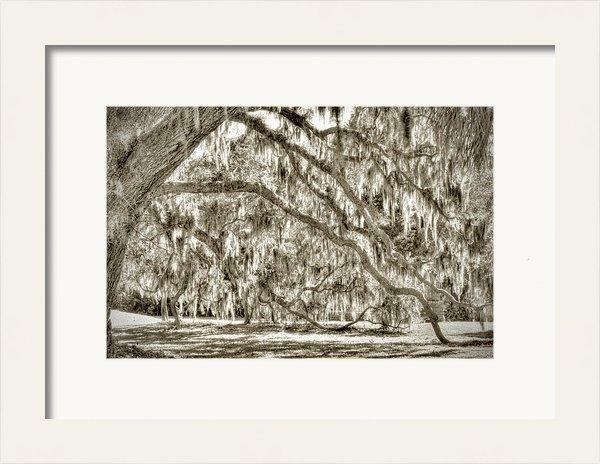Bill LITTELL - Honey Horn live oak Print