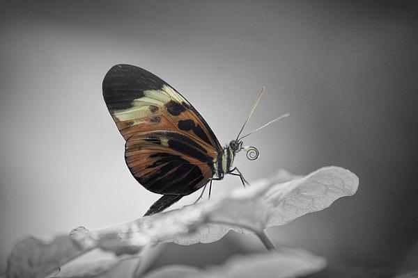 Becca Buecher - Numata Longwing Butterfly... Print