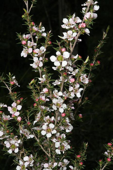 Graham Palmer - Tea Tree Blossom Print