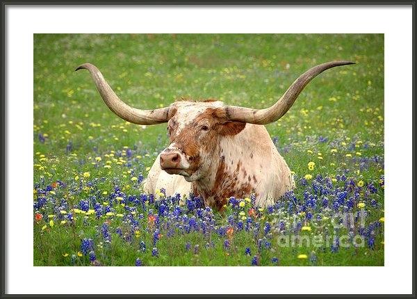 Jon Holiday - Texas Longhorn in Bluebon... Print
