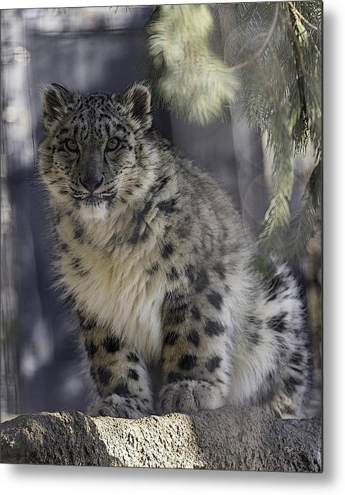 Everet Regal - Snow Leopard 1 Print