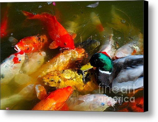 Nancy Mueller - Koi and Mallard Duck I Print