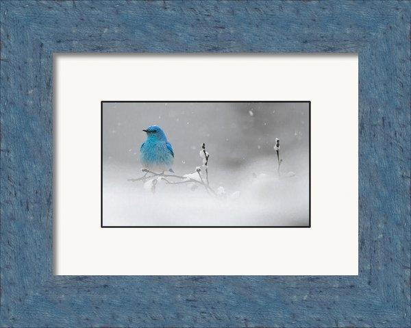 Kevin Spriggs - Snow capped Bluebird  Print