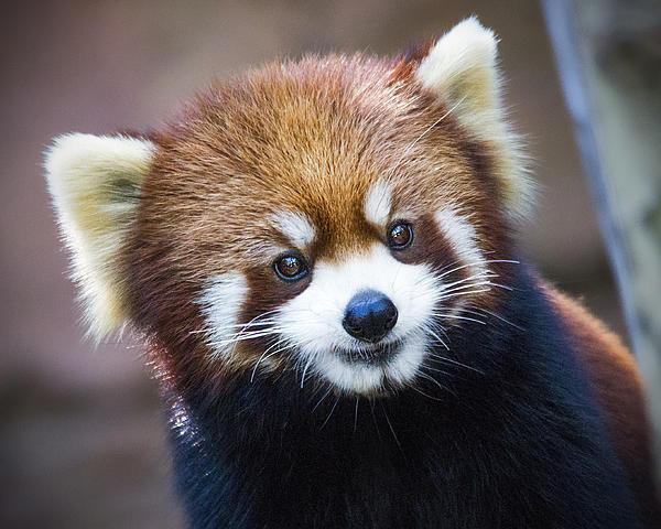 Jaki Miller - Happy Red Panda Print