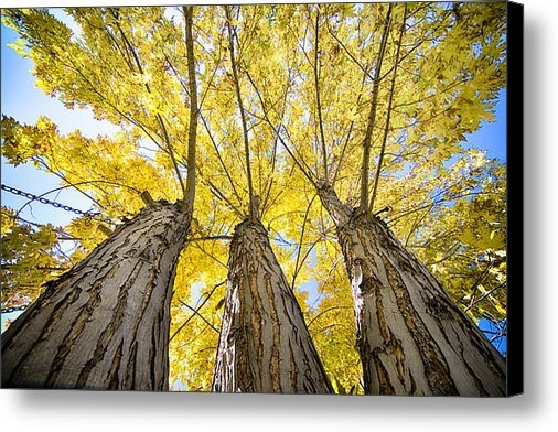 James BO  Insogna - Standing Tall Autumn Mapl... Print