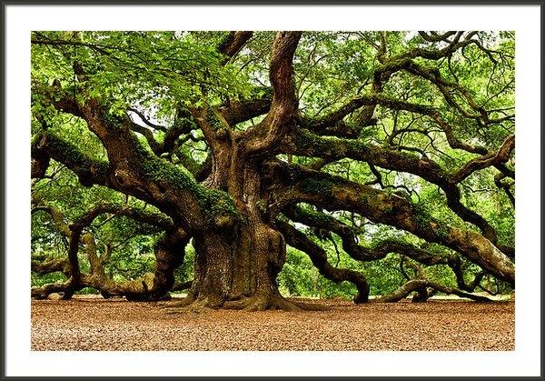 Louis Dallara - Mystical Angel Oak Tree Print