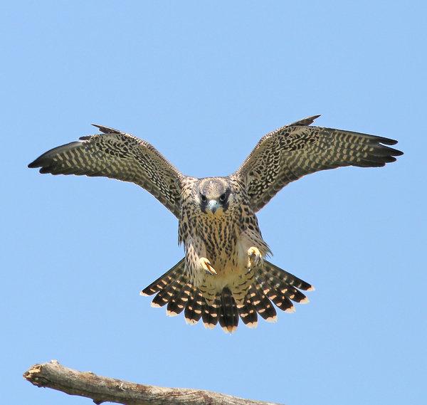 ML Lombard - Peregrine Falcon CONCENTR... Print