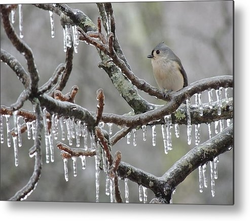 Jamie K Reaser - Titmouse and Iced Branche... Print