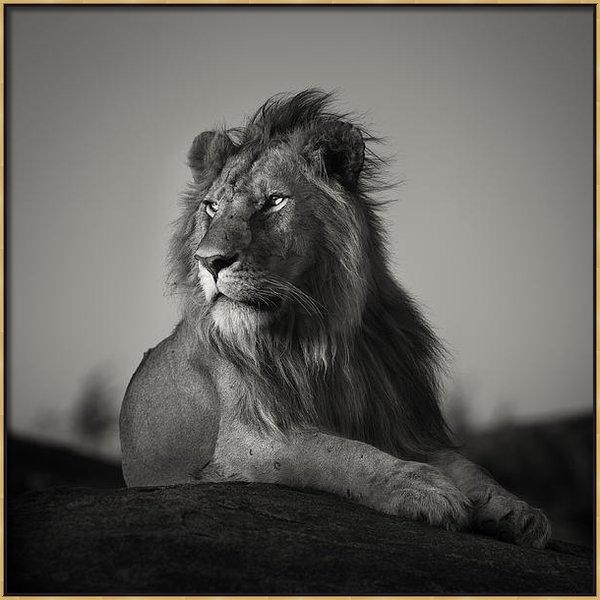 Pekka Jarventaus - Nomad Lion Print