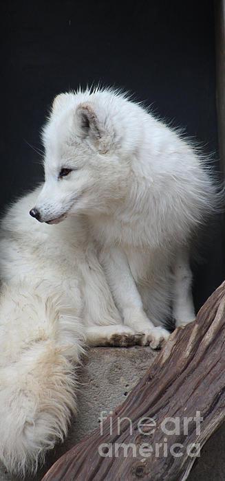 Nick Gustafson - Arctic Fox Profile Print
