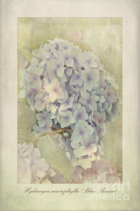 John Edwards - Hydrangea macrophylla Blu... Print